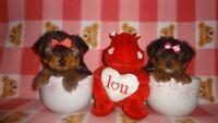 Tiny toy Yorkie puppies