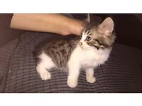 Beautiful male fluffy kitten for sale