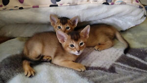 Chatterie ChAbyMiou, Magnifiques chatons Abyssins!