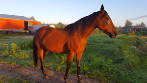 Superbe chevale thoroughbred 16 MAINS