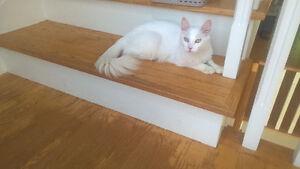 Turkish Angora Kittens- Hypoallergenic Kittens