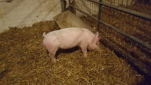 One two month old Piglet