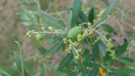OLIVE TREE / PLANT