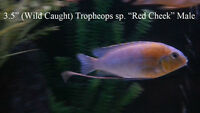 Show Male Cichlids For Sale