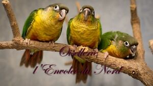 Conure Joua Vert mutation Yellow Side