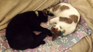 west island cat sitter and cat visits (insured/bonded,pet first) West Island Greater Montréal image 3
