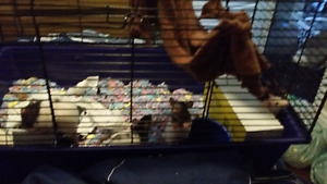 6 male rats and 6 female rats ready to be rehomed