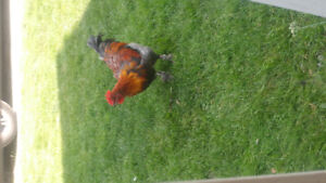 Black Copper Maran roosters