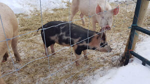 Duroc/ Landrace Gilt Piglet