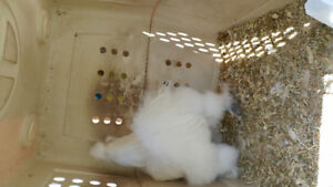 Silkie Roster and baby chicks