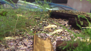 Blue Eye Albino Bushy Nose Plecos