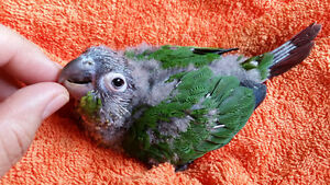 Hand raised 4 to 6 weeks old baby conure 150$ each