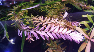 Fresh water Malaysian Trumpet Snail and Plants for sale
