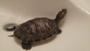 looking for a new home for 5 year old, red eared slider.