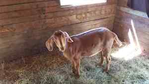 Wether goat for sale