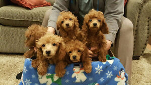 Beautiful Red Toy Poodle Puppies