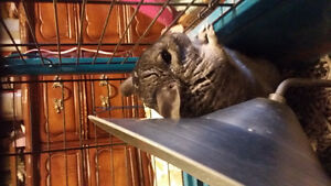 2yr old Chinchilla with cage