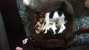 DOWN TO 1 BEAGLE PUPS LEFT WILL GO FAST