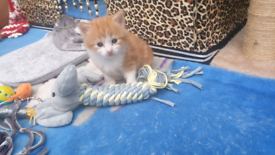 Fluffy kitten ragdoll mix