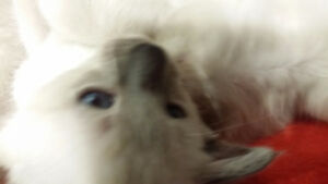 Hypoallergenic - Rare Lilac and Blue Point Ballinese Kittens