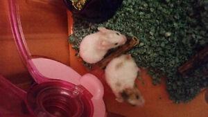 Hamsters à donner (bébés )