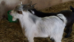 Pygmy Goat to a Good Home
