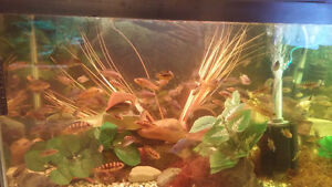 african cichlids for sale differnt kinds and sizes 2.50 and up Windsor Region Ontario image 1