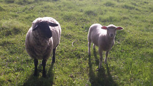 *Reduced for quick sale* flock mix breed sheep