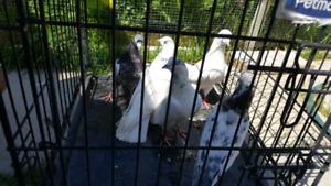 High Flyer Pigeons | Kijiji in Ontario  - Buy, Sell & Save