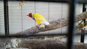 Lutino & Normal Gouldian Finches