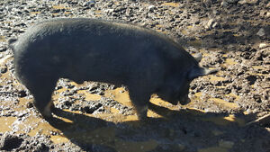 Proven Berkshire Boar (Also have York/Landrace Sows)
