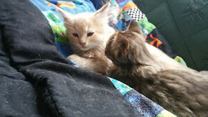 2 Beautiful cuddly kittens looking for homes!