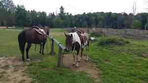 trail horses for sale