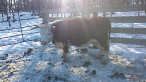 Mimi  Hereford Cow   !!!!!! SOLD !!!!!!!