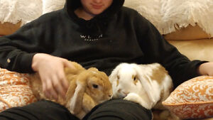 Need a Home for a Beautiful Pair of Bonded Female Holland Lops