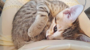 Baby Bengal Kittens - Ready to be rehomed this weekend
