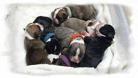 Only 4 Puppies Still Available - Olde English Bulldogge Puppies