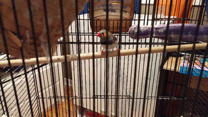 Pair of zebra finch with cage for sale Gatineau Ottawa / Gatineau Area image 3