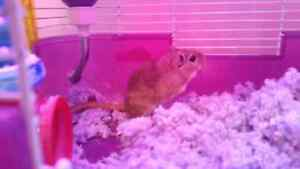 Gerbil with habitrail system