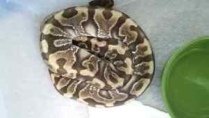 Ball Python: HGW Granite YB Male