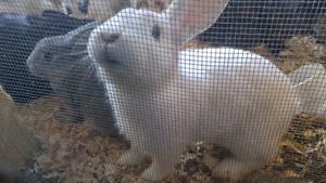 19 meat rabbits liquidation sale! Best offer.