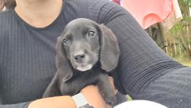 Beagle mix puppies