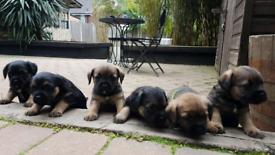 gorgeous border terrier KC puppies
