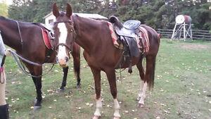 Well Trained Horses Strathcona County Edmonton Area image 2