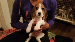 Beagle puppies for sale!