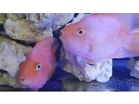 "5"" Parrot fish american cichlids for tropical fish tank aquarium"