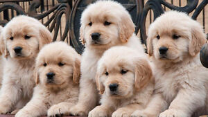 Male Golden Retriever puppy for late August/early September