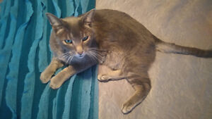 5 year old male grey cat to rehome