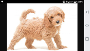 Golden/white cockapoo wanted