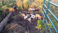 Heritage Breed Weaner Piglets Available Now
